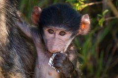 Curious baby baboon. A baby baboon eating and playing with plastic in Imfolozi National Park stock photos