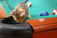 Curious baby cat. One curious little cat searching a billiards table Stock Images