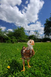 Curious Baby Chicken on Green Lawn Royalty Free Stock Images