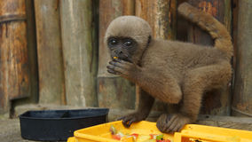 Curious baby Chorongo monkey eating fruit in the El Coca Zoo staring at the camera lens. Common names: Woolly monkey, Chorongo monkey. Scientific name Stock Photo