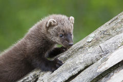 Curious baby fisher on log Stock Photo