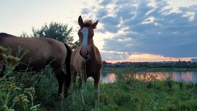 Curious baby foal turning to camera while grazing grass on a pasture together with his mother mare, over sunset background near t
