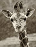 Curious Baby Giraffe Looking Right into Camera, Black and White. Curious Baby Giraffe Looking Right into the Camera, in Black and White royalty free stock image