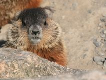 Curious Baby Groundhog Royalty Free Stock Image