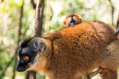 Curious baby lemur. The red-fronted lemur (Eulemur rufifrons, also known as the red-fronted brown lemur or southern red-fronted brown lemur) with baby, in Stock Photos