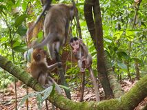 A curious baby Macaque monkey Royalty Free Stock Photography