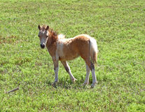 Curious Baby Miniature Horse. Young miniature horse curious and looking stock photo