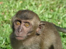 Curious Baby Monkey Staring Royalty Free Stock Photo