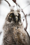 Curious Baby Owl on Branch Stock Image