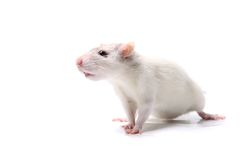 Curious baby rat Royalty Free Stock Photos