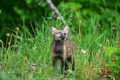 Curious baby red fox kit looking at plant Royalty Free Stock Images