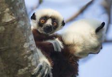 Curious Baby Sifaka Lemur and Mom. Baby Sifaka Lemur at Anjajavy Private Preserve, Madagascar Stock Image