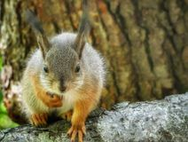 Curious baby squirrel. Babysquirrel, squirrelbaby, squirrels, squirrellife, wildlife, cute, cuteanimals, animalphotography, orava, oravanpoikanen, poikanfn royalty free stock images