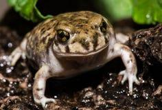 Curious Backyard Toad Royalty Free Stock Photos