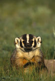 Curious Badger Royalty Free Stock Photography