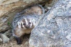 Curious badger Royalty Free Stock Photos