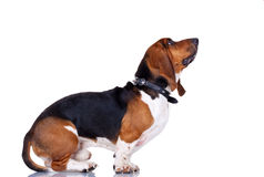 Curious Basset hound. In front of white background, looking at something royalty free stock photo