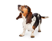 Curious Basset Hound Dog Looking Up Stock Images