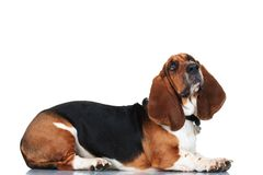 Curious basset hound lying down. On white background royalty free stock image