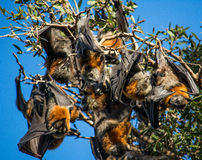 Curious Bat. A Flying Fox looks on curiously Royalty Free Stock Photos