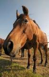 Curious bay horse Stock Photos