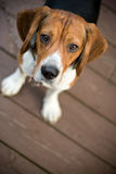 Curious Beagle royalty free stock photography