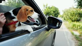 Curious beagle dog looks out the window of the car on a trip. Funny animals, country road stock footage