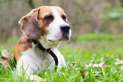 Curious Beagle dog Royalty Free Stock Image