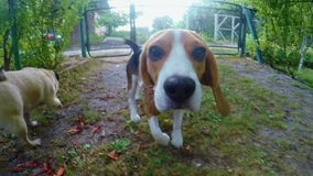 Curious beagle dog sniffing camera during the walk. Dog training