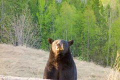 A curious bear in northern canada Stock Image