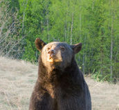 A curious bear in northern canada Royalty Free Stock Images