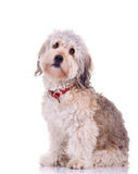 Curious bearded collie royalty free stock image