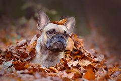 Curious fawn French Bulldog dog girl lying on forest ground covered in colorful autumn leaves royalty free stock photos