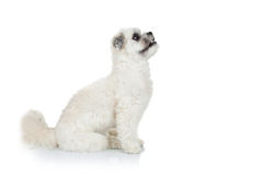 Curious bichon havanese puppy Royalty Free Stock Photo