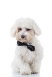 Curious bichon puppy is sitting. On white studio background Stock Images