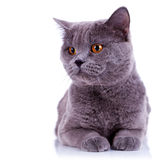 Curious big english cat. Looking at something on white background royalty free stock photo