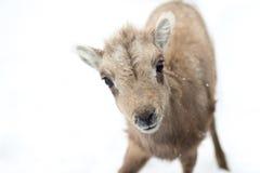 Curious bighorn sheep lamb Royalty Free Stock Photos