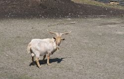 Curious billy goat with long curved horns Stock Images