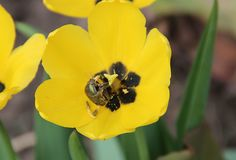Curious black beetle crawled inside a yellow flower Royalty Free Stock Photography