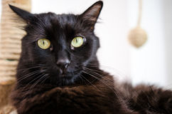 Curious black cat. Curious looking black cat with green eyes royalty free stock photos
