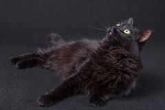 Curious black cat lying down on the side and looking up on a dark background. Long hair Turkish Angora breed. Adult female stock photos