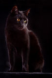 Curious black cat spooky night animal bad luck. Black cat domestic animal with beautiful eyes concept for animal friendship or spooky horror halloween bad luck royalty free stock photo