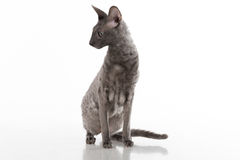 Curious Black Cornish Rex Cat Sitting on the White Table with Reflection. White Background. Portrait. Looking Left. Royalty Free Stock Photos