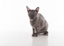 Curious Black Cornish Rex Cat Sitting on the White Table with Reflection. White Background. Portrait. Open Mouth, Tongue out. Stock Photo