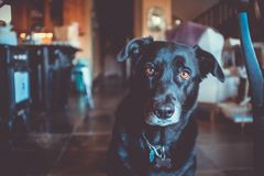 Curious Black Dog  Royalty Free Stock Photography