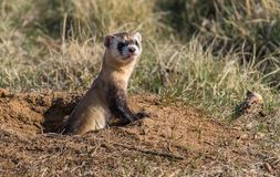 An Endangered Black-footed Ferret Popping out of a Prairie Dog Burrow for a Quick Observation royalty free stock images