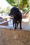 Curious black Labrador stray dog looking on the side royalty free stock image