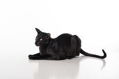Curious Black Oriental Shorthair Cat Lying on White Table with Reflection. White Background. Long Tail. Stock Photo