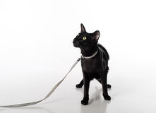 Curious Black Oriental Shorthair Cat Sitting on White Table with Reflection and Leash. White Background. Looking Up. Stock Photo