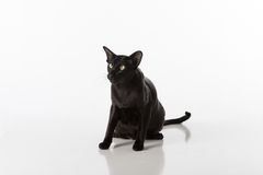 Curious Black Oriental Shorthair Cat Sitting on White Table with Reflection. White Background. Stock Image